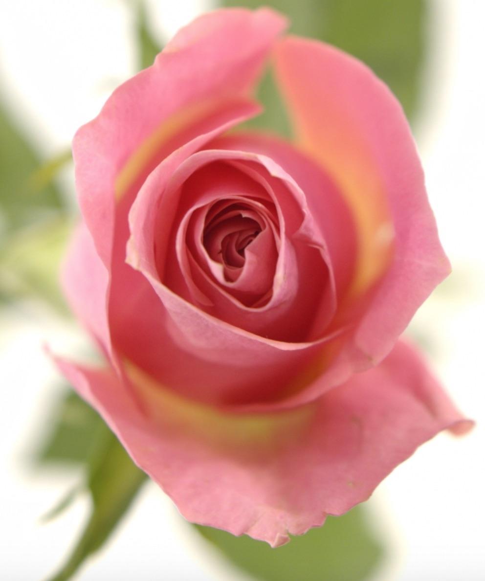 100 růžových růží Ace Pink