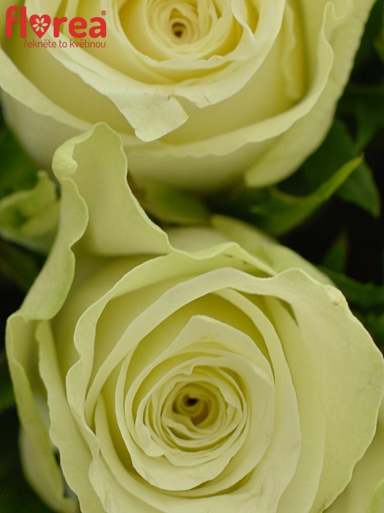Bílé růže Athena